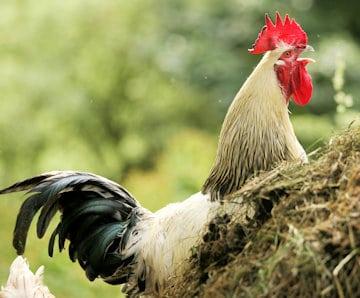 Nachbarschaftsstreit: Der krähender Hahn auf dem Misthaufen war Ausgangspunkt eines Nachbarschaftsstreits